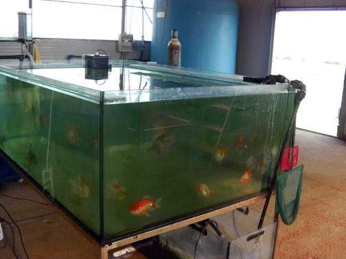 gold-fish-italia-riproduzione (4)
