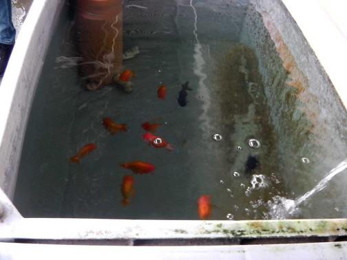 gold-fish-italia-showroom (5)