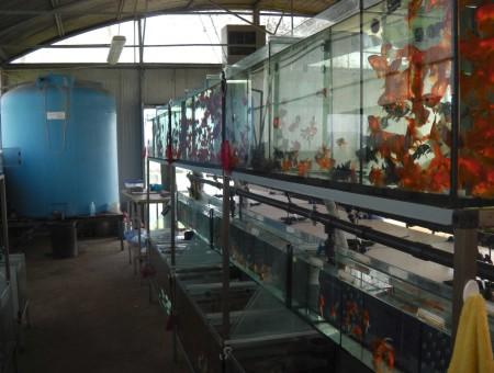 gold-fish-italia-gallery (16)