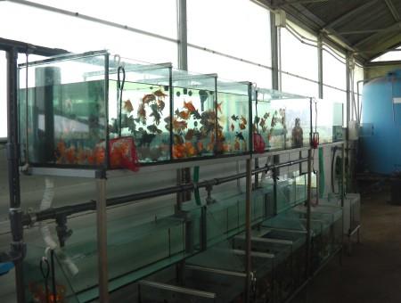 gold-fish-italia-gallery (17)
